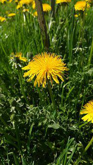 Spring, Dandelion, Flower, Nature, Grass, Yellow, May
