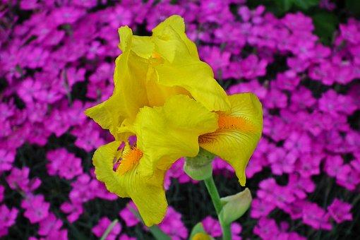 Iris, Flower, Nature, Spring, Closeup