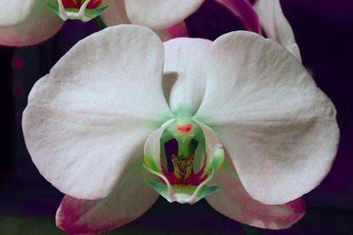 Orchid, Flower, White, Red Eyes, Turquoise, Blossom