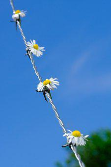 Daisy, Flower, Blossom, Bloom, Barbed Wire, Fence, Wire