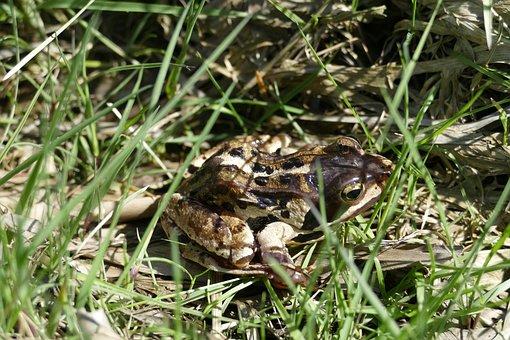 Moor Frog, Frog, Amphibian, Moor, Animal, Rana Arvalis