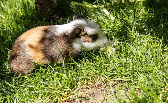 Guinea Pig, Rodent, Animal, Mammal