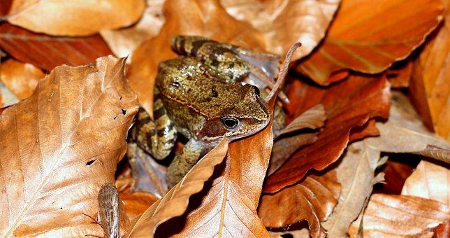 The Frog, Toad Las, Autumn, Foliage, Autumn Gold