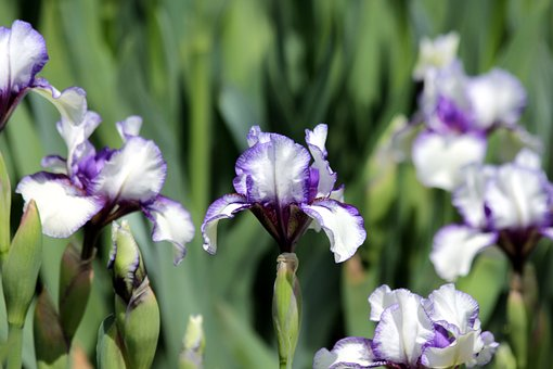 Iris, Flower, Spring Flowers, Beautiful, Nature