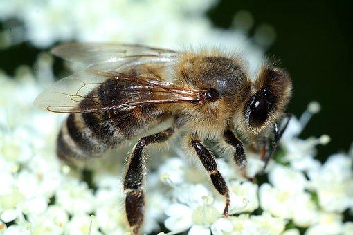 Bee, Insect, Macro, Closeup, Nature, Pollination