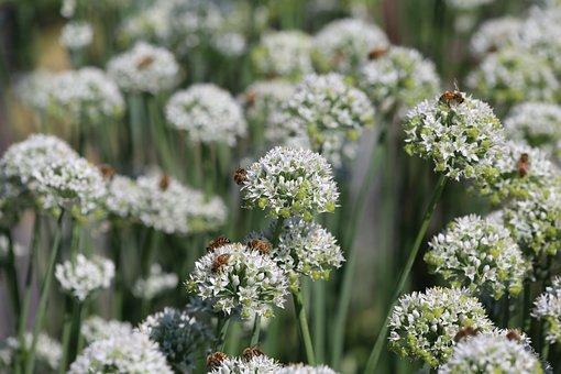 Honeybee, Bumblebee, Mountain Mint, Nectar, Pollen