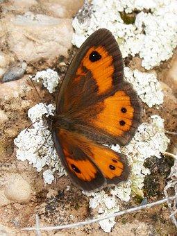 Butterfly, Pyronia Bathseba, Lobito List