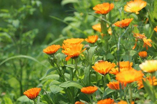 Calendula, Flower, Marigold, Calendula Officinalis