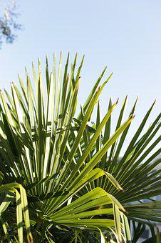 Palm Tree, Palm Leaf, Tropical, California