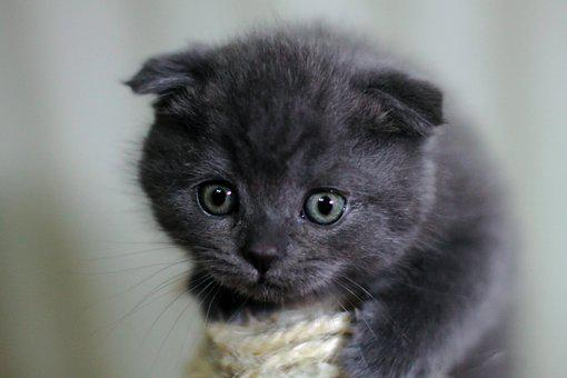 Kitten, Cat, British Cat, Animals, Pet, Cute, Grey