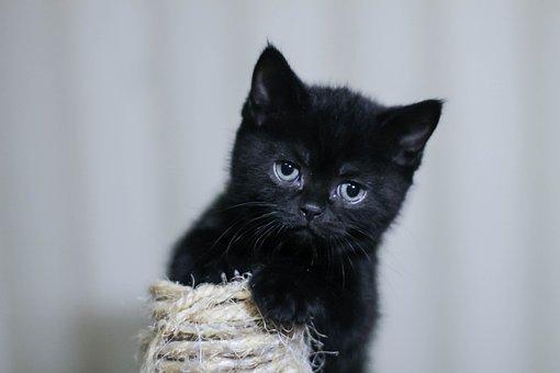 Kitten, Black Cat, Pet, Animals, Pets, Cat, Eyes