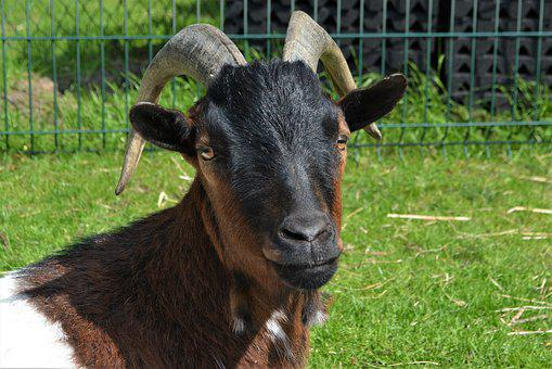 Goat, Close, Animal, Horns, Ruminant, Domestic Goat