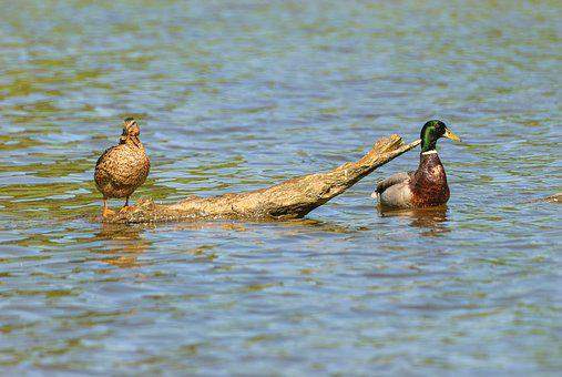 Animals, Duck, Couple, Number Of People, Body Of Water