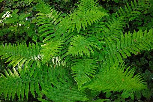 Fern, Green, Plant, Forest