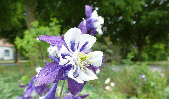 Flower, Columbine, Purple, Blossom, Bloom