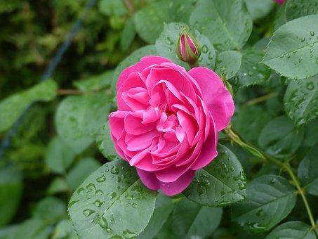 Rose, Blossom, Bloom, Rose Blooms, Close, Flower