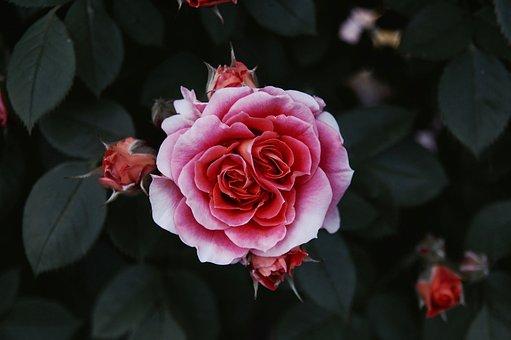 Rosa, Nature, Leaves, Flower, Garden, Petal, Prato