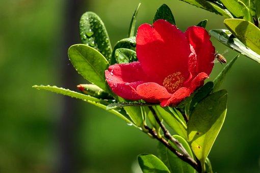 Camellia, Flower, Pistil, Plant, Univalve, Nature
