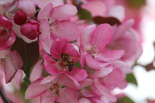 Bee, Pink, Flower, Forage, Garden, Insect, Spring