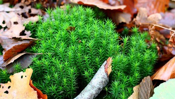 Moss, Forest, Autumn