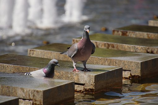 Pigeons, Fountain, Berlin, Tv Tower, Bird, Animal