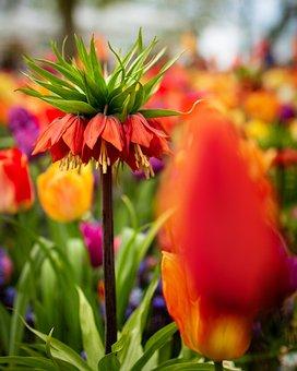 Tulips, Flower, Nature, Flowers, Plant, Garden