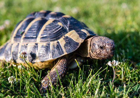 Turtle, Greek Tortoise, Reptile, Animal, Armored