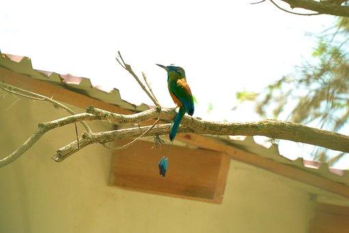 Guardabarranco, Bird, Ave, Nature, Fauna, Little Bird