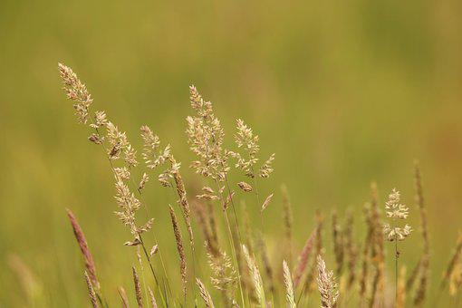 Grass, Meadow, Green, Grass Seed, Hay Fever