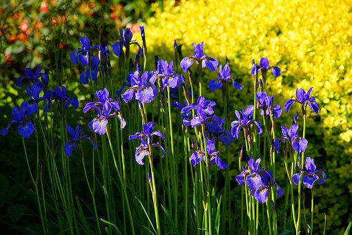 Iris, Spring Flowers, May, In The Sun, Color, Spring