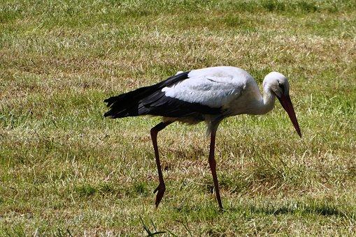 Stork, Pasture, Spring, Nature, Landscape, Polder