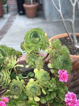 Succulents, Flower, Flora, Nature, Leaf, Garden, Pot