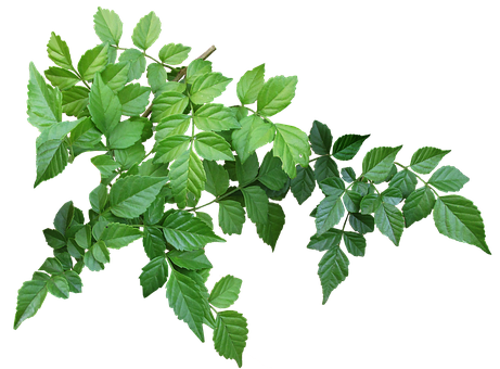Leaves, Branch, Garden, Nature, Green