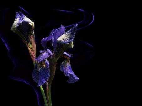 Siberian Schwertlilie, Beardless Sword Meadows, Lily