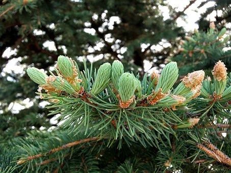 Pine, Seed, Plant, Tree, Macro