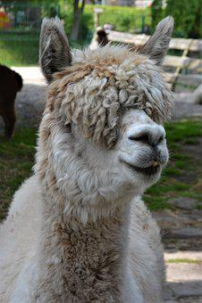 Alpaca, Fluffy, White, Animals, Curious, Mammal, Close