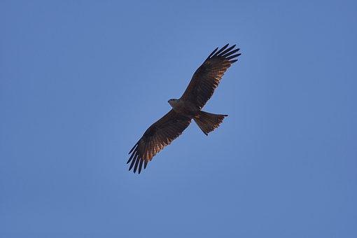 Milan, Sky, Bird Of Prey, Raptor