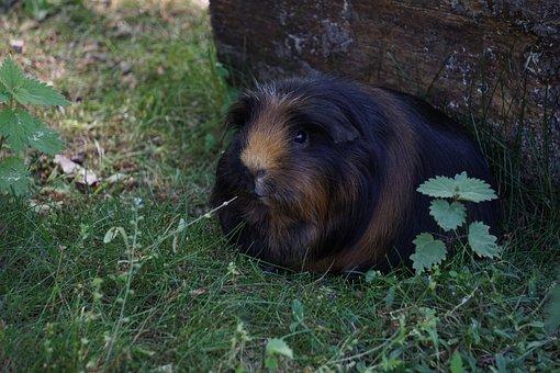Guinea Pig, Pet, Rodent, Animal, Nager, Mammal