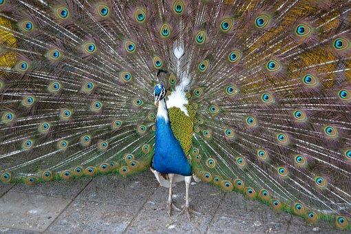 Blue Peacock, Peacock, Pride, Animal, Nature, Colorful