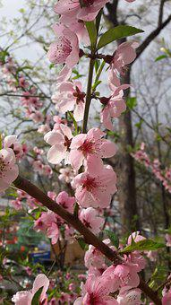 Spring, Wood, Flowers, Cherry Blossom, Plants, Nature