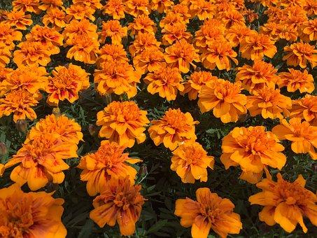 Orange, Flowers, Floral, Nature, Plant, A Lot, Tiny