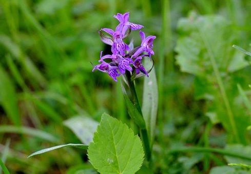 Orchid, Western Marsh Knabenkraut, Blossom, Bloom