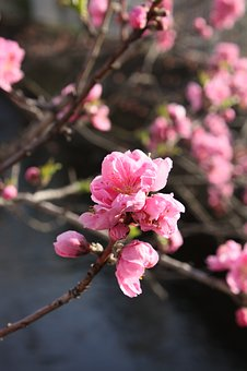 Peach Blossoms, Waterside