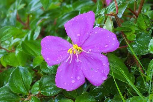 Melastoma, Plant, Nature, Flowers, Purple, Wild Flowers