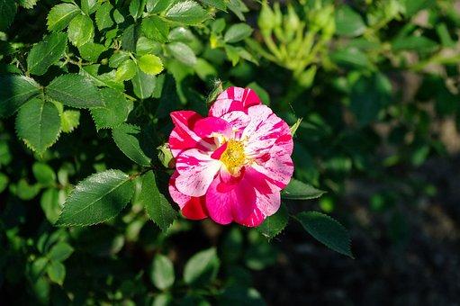 The Sun, Rose, Plant, Flower