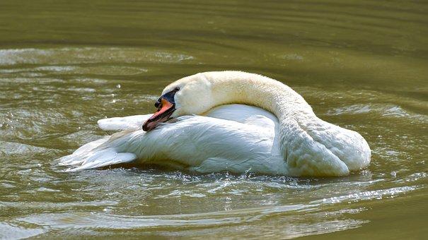 Swan, White, Toilet, Plumage, Pond, Water, Bird
