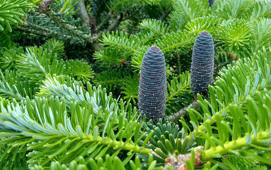 Spring, Spruce, Pine Cone, Poland, Tree, Nature