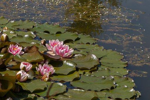 Pond, Bloom, Water Flower, Nature, Aquatic Plant
