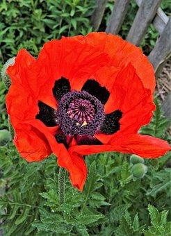 Pflp, Poppy, Klatschmohn, Red Poppy Flower, Blossomed