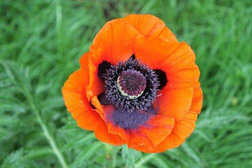 Mack, Red, Flower, Red Flower, Flora, Closeup
